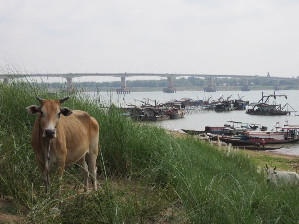 Mekong River Kampong Cham Cambodia Cow