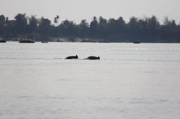 mekong river dolphin Irrawaddy