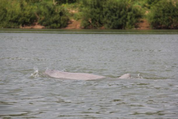 Mekong irrawaddy river dolphin