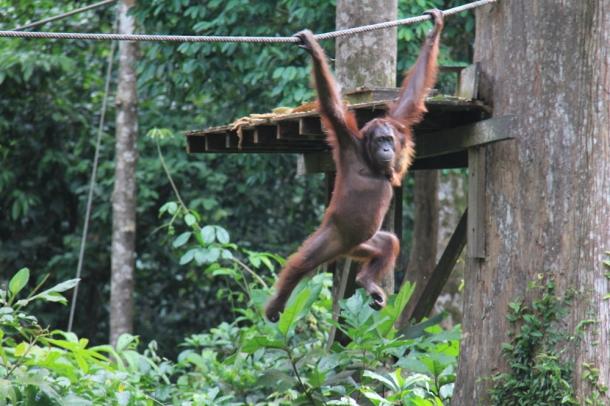 sepilok borneo malaysia orangutan