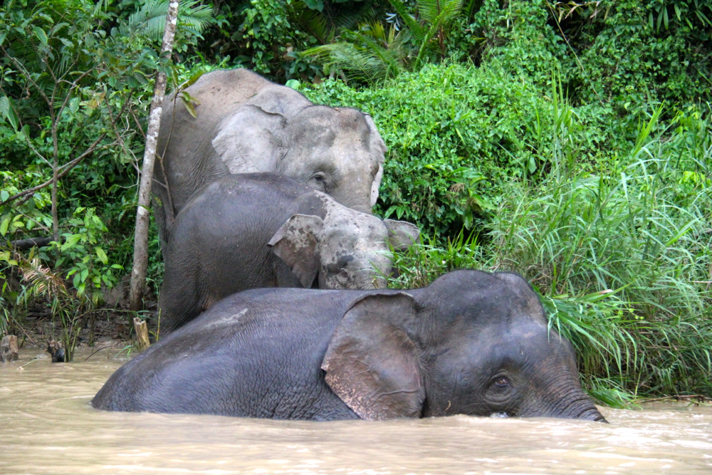 Family of pygmy elephants in Borneo, Malaysia