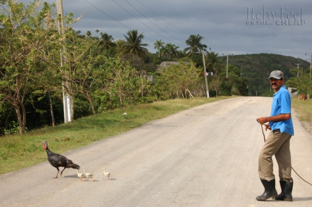 Man leads his turkey and its babies across the road in Cuba
